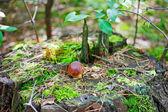 Small Bay Bolete mushroom (Hypholoma fasciculare) on old stub — Stock Photo