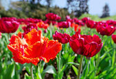 Red tender tulips on flower bed, closeup view — Stock Photo