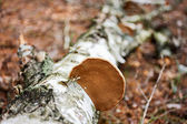 Wood fungus on fallen birch trunk — Stock Photo
