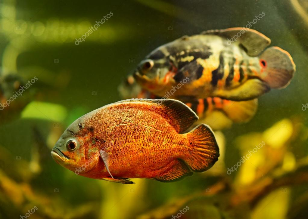 Oscar fish (Astronotus ocellatus) swimming underwater — Stock Photo #16868483