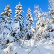 Stock Photo: Winter forest depths with spruces covered by hard snow