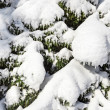 Spruce branches covered by hard snow, closeup winter background - Stock Photo