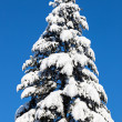 Spruce top covered by hard snow in front of blue sky - Stock Photo