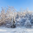 Beautiful winter forest landscape with trees covered by hard sno — Stock Photo