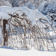 Decorative dwarf tree covered by hard snow - Stock Photo