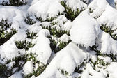 Spruce branches covered by hard snow, closeup winter background — Stock Photo