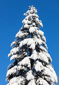 Spruce top covered by hard snow in front of blue sky — Stock Photo
