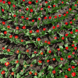 Many red tulips on flower bed, top view - Stock Photo