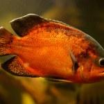 Oscar fish (Astronotus ocellatus) swimming underwater — Stock Photo
