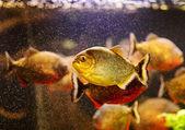 Red piranha (Serrasalmus nattereri) swimming underwater — Stock fotografie
