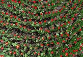 花壇、トップ ビューで多くの赤いチューリップ — ストック写真