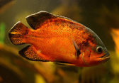Oscar fish (Astronotus ocellatus) swimming underwater — Zdjęcie stockowe
