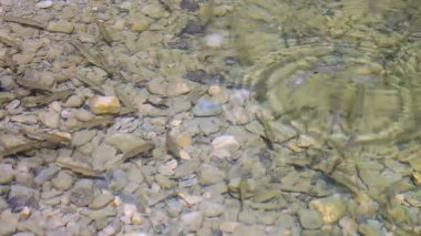 Shoal of small trout fish feeding on shallow water — Stock Video