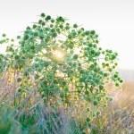 Eryngium campestre (field eryngo) flower thorny bush on sunset — Stock Photo #42813835