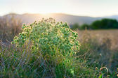 Eryngium campestre (field eryngo) flower thorny bush on sunset — Stock Photo