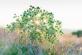 Eryngium campestre (field eryngo) flower thorny bush on sunset — Stock Photo