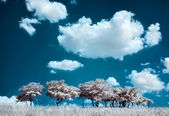 Trees on the hill and cumulus clouds, infrared (IR) landscape — Stock Photo