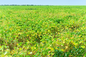 Soy bean field — Stock Photo