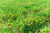 Soy bean field — Stock Photo