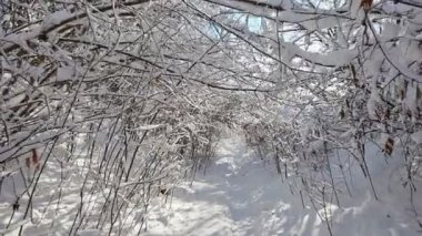 Winter forest walk through snow-covered thicket — Stock Video