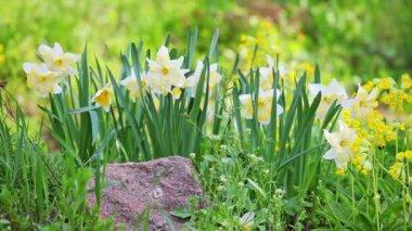 Narciso blanco y amarillo en paisajismo diseño flor cama — Vídeo de stock