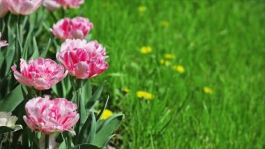 Pink tulips on flower bed with green grass — Stock Video