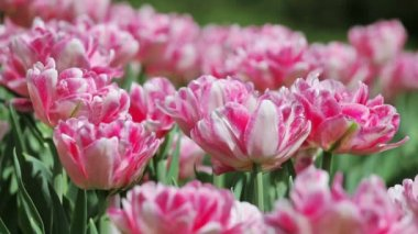 Pink tender tulips on flower bed — Stock Video