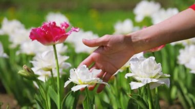 Tulips flowers caressed by woman hand, closeup view — Stock Video