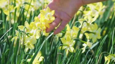 Yellow narcissus flowers caressed by woman hand, closeup view — Stock Video