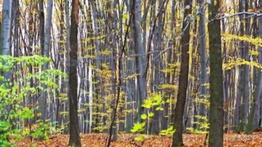 Autumn deciduous (leaf) forest depths, panning video — Stock Video
