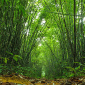 Bamboo forest. Trees background inside tropical jungle — Stock Photo