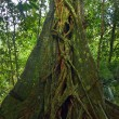 Giant tropical tree. Banyan trunk in jungle forest — Stock Photo