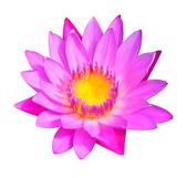 Vector de ilustración de la flor. flor de lirio de agua — Vector de stock