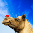 Camel animal adventure background - Stock Photo