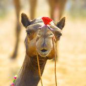 Camel animal adventure background — Stock Photo