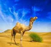 Desert landscape. Sand, camel and blue sky with clouds. Travel a — Stock Photo