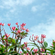 Frangipani tree tropical flowers. Plumeria blossom nature backgr — Stock Photo #22330307