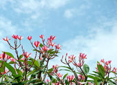 Frangipani tree tropical flowers. Plumeria blossom nature backgr — Stok fotoğraf