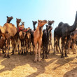 Camels — Stock Photo #24675803
