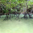 mangrove forest&quot — Stock Photo