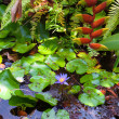 Pond with exotic tropical plants. Water lily blossom — Stock Photo