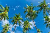 Dłoń drzewa naturalnego tła. błękitne niebo i roślin tropikalnych — Zdjęcie stockowe