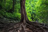 Vieil arbre avec grosses racines dans forêt jungle verte — Photo
