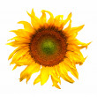 Sunflower flower plant blossom isolated on white — Stock Photo