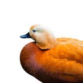 Mandarin duck bird profile — Stok fotoğraf