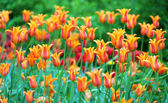 Tulips in bloom spring background — Stock Photo