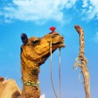 Rajasthan camel in Pushkar fair in India — Stock Photo