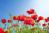 Poppies flowers in  field — Stock Photo