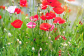 Poppies flowers on summer meadow. — Stockfoto