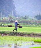 Ninh Binh rice paddy — Stock Photo